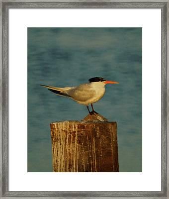 The Tern Framed Print by Ernie Echols