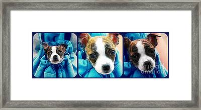 The Three Amigos Teacup Chihuahua Framed Print by Peggy Franz