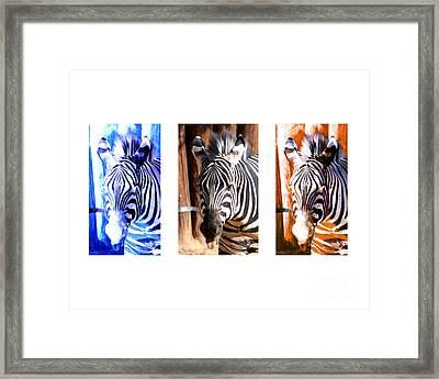 The Three Zebras White Borders Framed Print