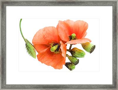 Framed Print featuring the photograph The Torn Off Poppy. The Broken Life. by Aleksandr Volkov