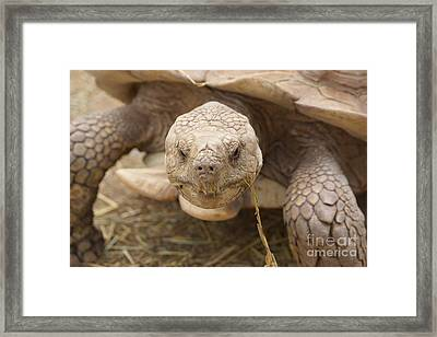 The Tortoise  Framed Print