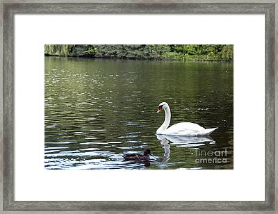 The White Swan Framed Print by Ivy Ho