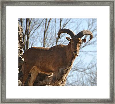The Whole Goat Framed Print by Carolyn Meuer-Pickering of Photopicks Photography and Art