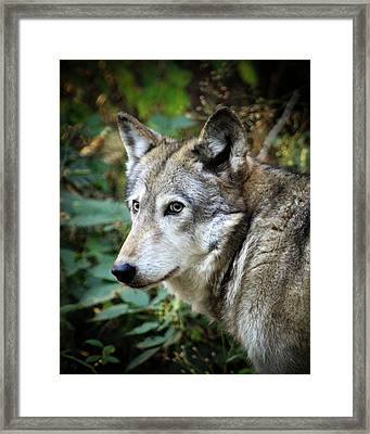 Framed Print featuring the photograph The Wolf by Steve McKinzie