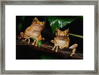 These Are Marsupial Frogs Gastrotheca Framed Print