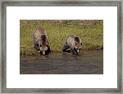 Framed Print featuring the photograph Thirsty Grizzlies by J L Woody Wooden