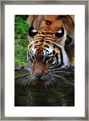 Thirsty Kitty Framed Print by Mike Martin