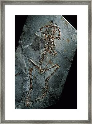 This 124 Million Year Old Frog Fossil Framed Print by O. Louis Mazzatenta
