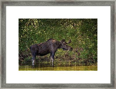 This Is Our World - No.16 - Moose Eating By The Lake Framed Print