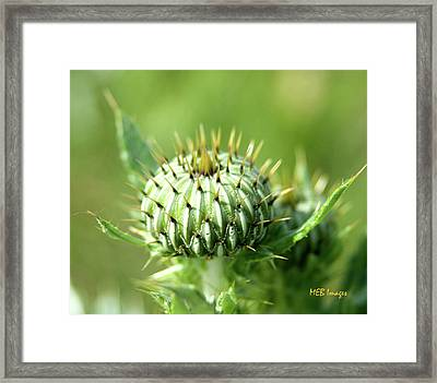 Thistle Bud Framed Print by Margaret Buchanan