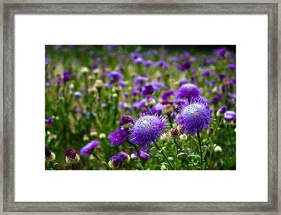 Thistle Field Framed Print by Tamyra Ayles