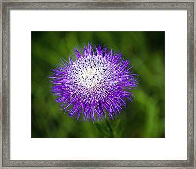 Thistle II Framed Print by Tamyra Ayles