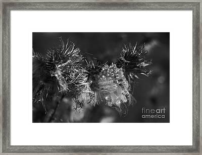 Thistle Seeds Framed Print by Dariusz Gudowicz