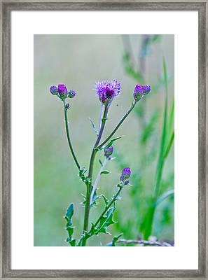 Thistledown Pastel Passion Framed Print