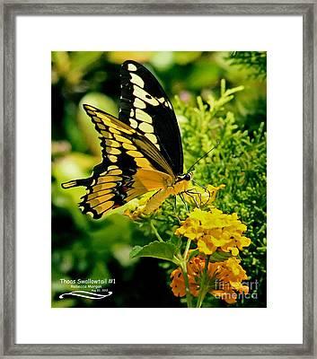 Thoas Swallowtail #1 Framed Print by Rebecca Morgan