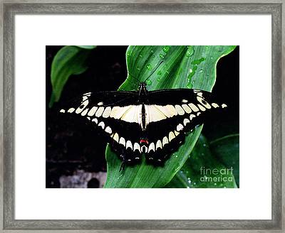 Thoas Swallowtail Butterfly Framed Print by Terry Elniski