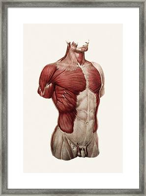 Thoracic And Abdominal Muscle Framed Print by Mehau Kulyk