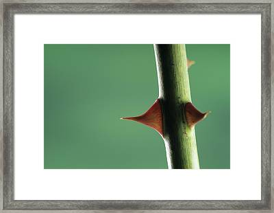 Thorns Of A Rose (rosa Sp.) Framed Print by David Aubrey