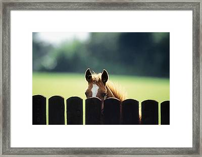 Thoroughbred Horses, Foal Looking Over Framed Print by Sici