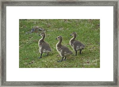 Three Baby Geese Framed Print by Ruth H Curtis