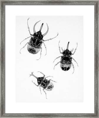 Three Beetles X-ray Framed Print by Ted Kinsman