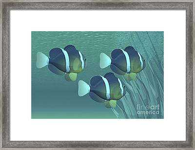 Three Clownfish Swim Close To Some Framed Print by Corey Ford