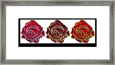three colors of roses I Framed Print