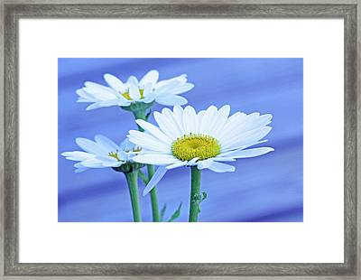 Three Daisies Framed Print by Becky Lodes