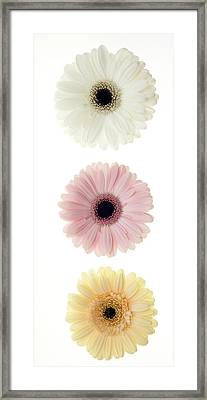 Three Gerber Daisies Framed Print by Brad Rickerby