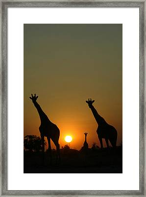 Three Giraffes Stand At Sunset Framed Print by Beverly Joubert
