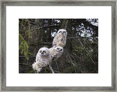Three Great Horned Owl Bubo Virginianus Framed Print by Richard Wear