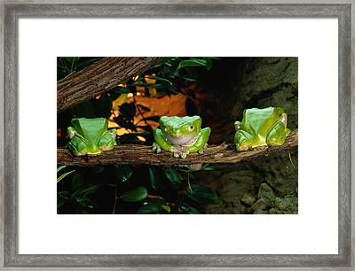 Three Green Frogs In A Row On A Branch Framed Print