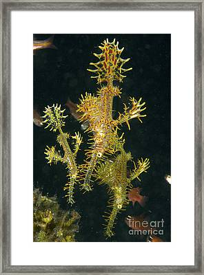 Three Harlequin Ghost Pipefish, North Framed Print by Mathieu Meur