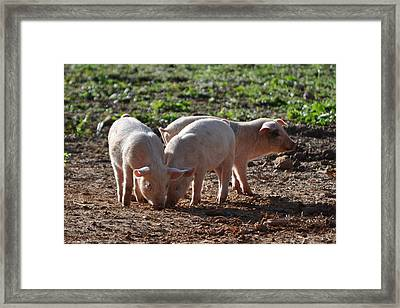 Three Little Pigs Framed Print by Tammy Price