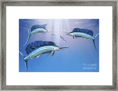 Three Sailfish Hunt For Their Prey Framed Print by Corey Ford