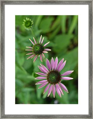Three Stages Of A Coneflower Framed Print