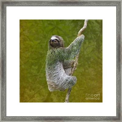 Three-toed Sloth Climbing Framed Print by Heiko Koehrer-Wagner