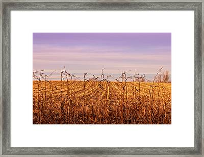 Framed Print featuring the photograph Through The Cornfield by Rachel Cohen