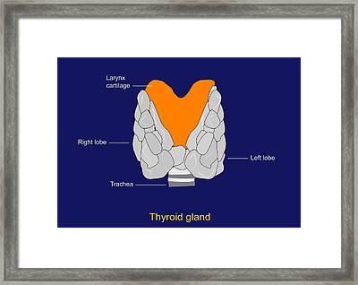 Thyroid Gland, Artwork Framed Print by Francis Leroy, Biocosmos