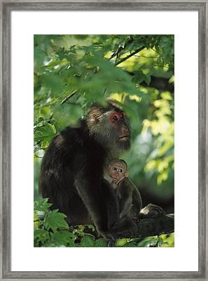 Tibetan Macaque Nursing Baby Framed Print by Cyril Ruoso