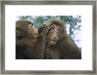 Tibetan Macaques Grooming Framed Print by Cyril Ruoso
