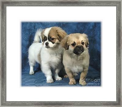 Tibetan Spaniel Pups Framed Print by Maxine Bochnia