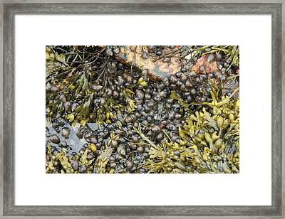 Tidal Pool With Rockweed Framed Print by Ted Kinsman