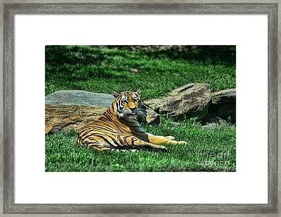Tiger - Endangered - Lying Down - Tongue Out Framed Print