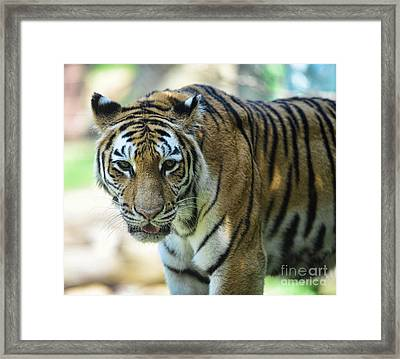 Tiger - Endangered - Wildlife Rescue Framed Print