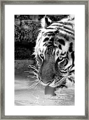 Tiger At The Watering Hole Framed Print by Tracie Kaska