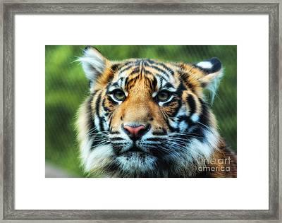 Tiger Framed Print by Billie-Jo Miller