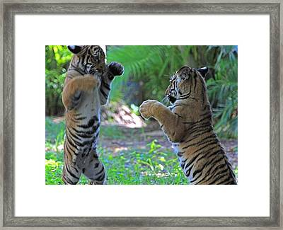 Tiger Cubs Boxing Framed Print
