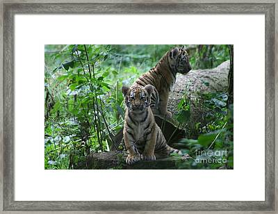 Tiger Cubs Framed Print by Carol Wright