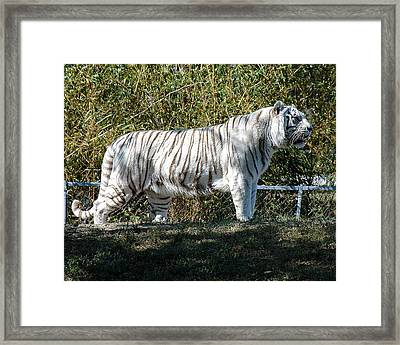 Tiger In A Tux Framed Print by Al Cash